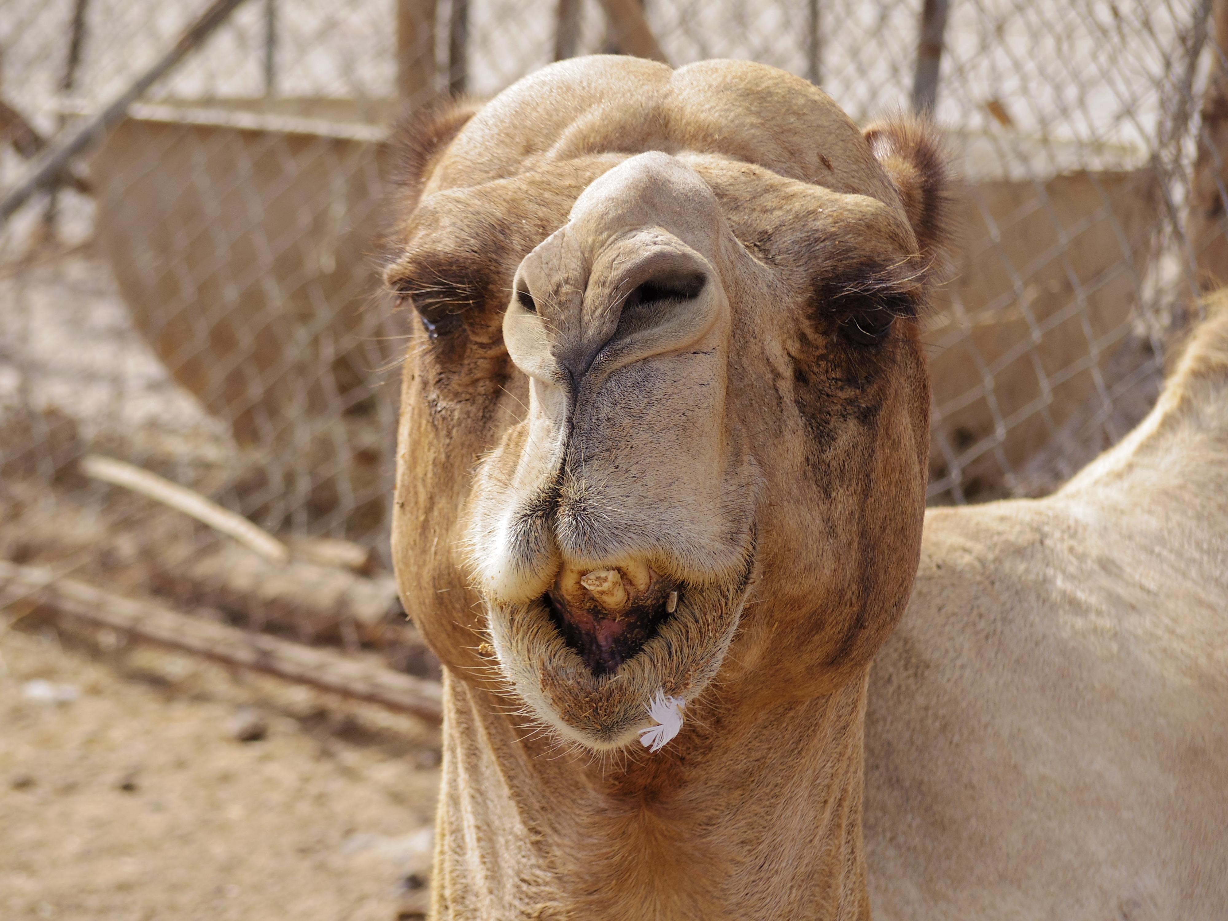 カタール・ドーハをがっつり観光!ラクダ市場ってどんなとこ!?
