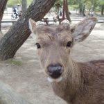 【日本プチ縦断 in 奈良】奈良の鹿に逢いに行く。