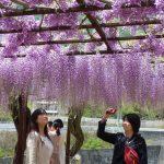 【日本プチ縦断 in 中国】兵庫で石垣に見惚れ、岡山でフジを愛でる。
